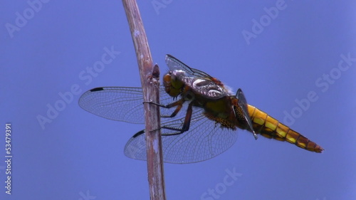 Dragonfly isolated on blue flies away