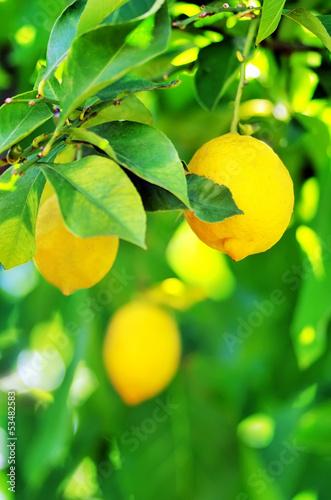 Lemons hanging on tree