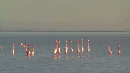Flamands Rose (Parade)