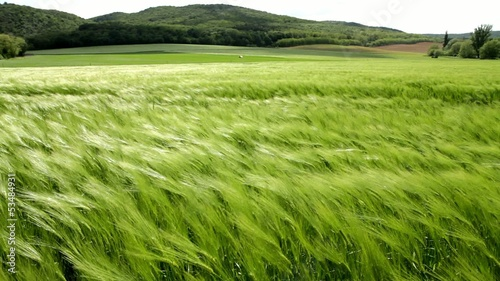 Beautiful cereal field in a windy day