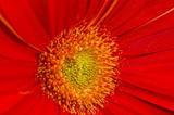 Gerbera with great detail