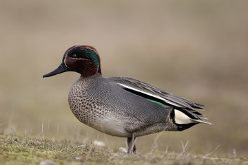 Teal, Anas crecca, male