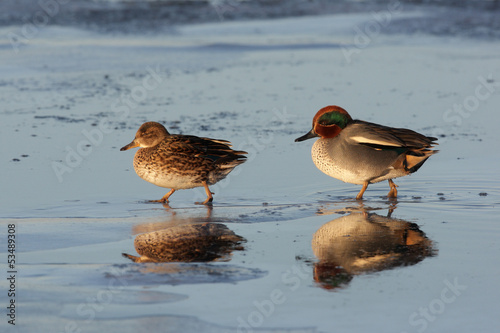 Teal, Anas crecca, male, female