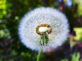 Old dandelion flower