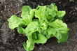 Young lettuce seedling