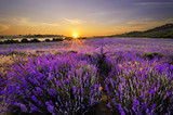 Fototapeta Sunset over lavender field