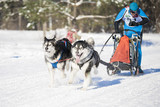 husky dog sledding outdoor