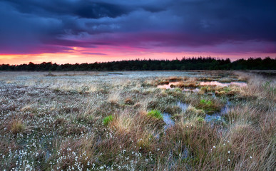 flowering cottongrass on swamp at sunset