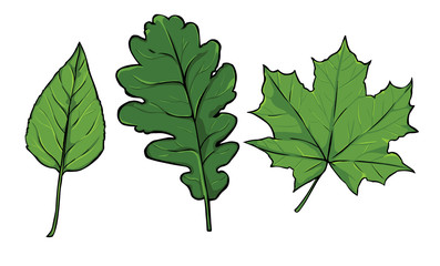 vector green leaves - poplar, oak, maple