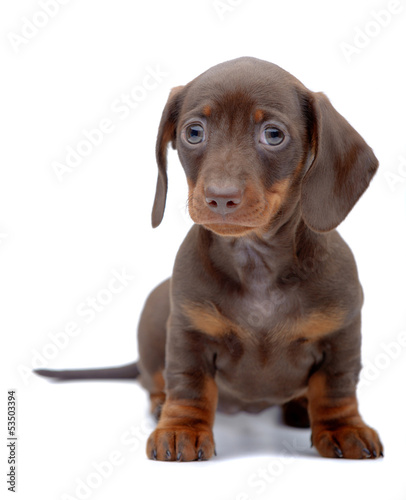 Portrait of puppy of Dachshund