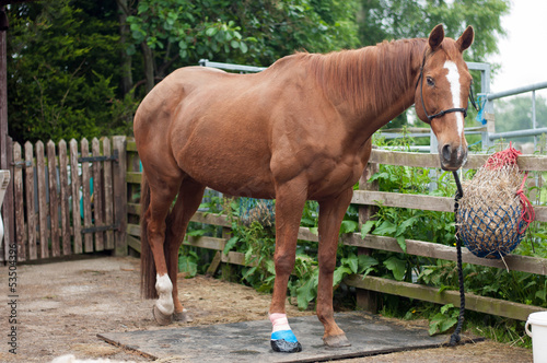 Horse with bandaged foot