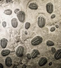 ancient trilobites fossils