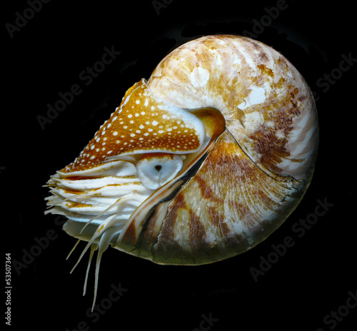 nautilus swimming, alive on black background studio shot