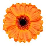 Orange Gerbera Flower Isolated on White