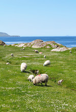 Ring of Kerry moutons