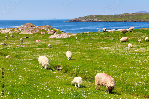 Papiers peints Europe du Nord Sheeps on Ring of Kerry grass fields