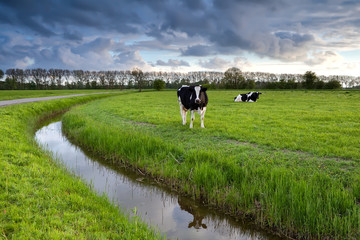 two cows on pasture after storm