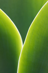 Agave Background