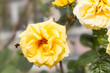 Yellow Rose and bumble bee