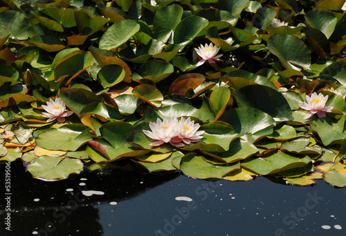 Pale pink water lilies floating on a pond