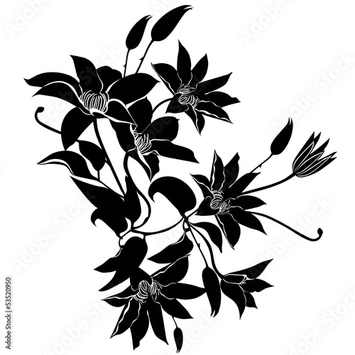clematis flowers vector isolated
