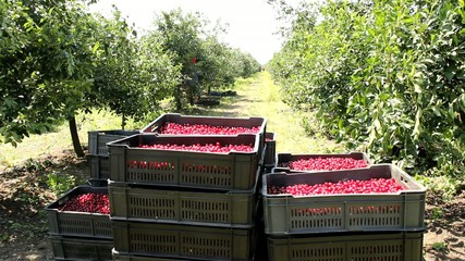 picking cherries in the orchard  more clips in one
