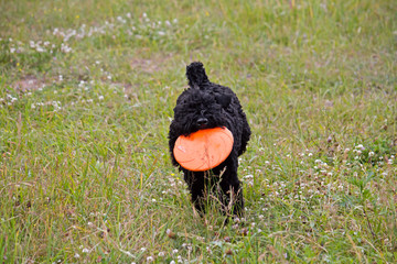 Kerry-blue-terrier and freesbee