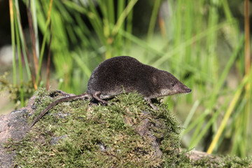 Water shrew, Neomys fodiens