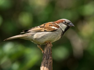 House sparrow male perched on the tip of a branch
