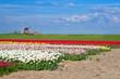 windmill and colorful tulip fields in Alkmaar