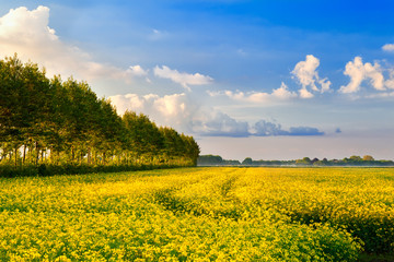 field with rapeseed flowers and blue sky