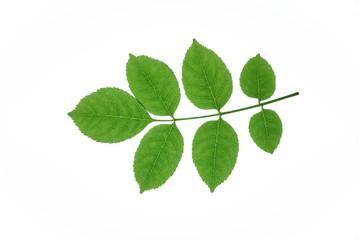 ash leaves
