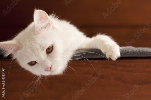 Adorable white Persian cat