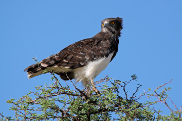 Black-breasted snake eagle