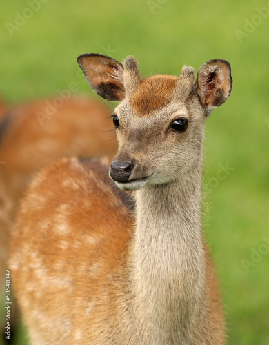 Close up of a young Fallow Deer
