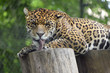 Jaguar (Panthera onca) on wood logs and licking the paw