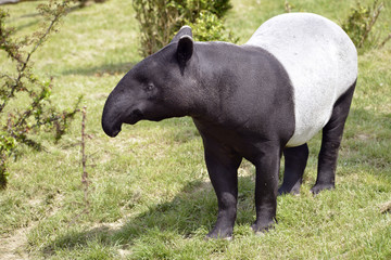 Malayan tapir (Tapirus indicus) on grass