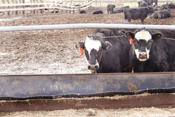 Cows in a Pen