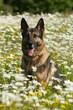 Deutscher Schäferhund sitzt im Blumenfeld
