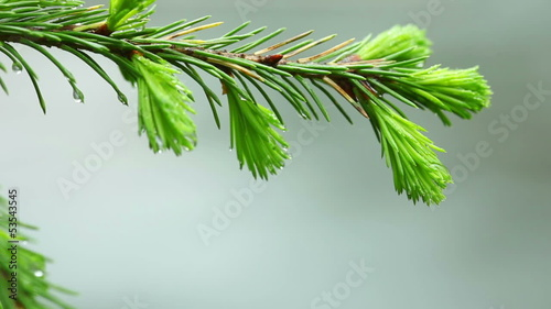 Fresh sprouts of fir needles on the branch.