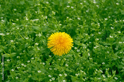 Dandelion on lawn