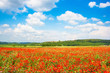 Red poppy field with blue sky in Monteriggioni, Tuscany, Italy
