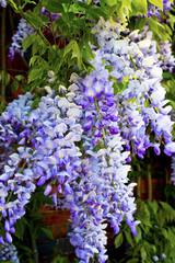 Closeup of cascading lilac wisteria sinensis (glycine)