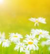 Daisies flowers field