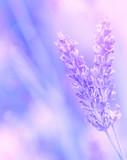 Fototapety Lavender flower