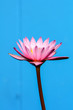 Purple Water Lily on blue Background