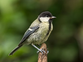 Juvenile great tit perched on the tip of a brown branch