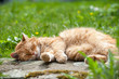 Schlafender Kater - Sleeping cat