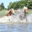 Batch of haflingers in water