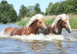 Two haflingers moving in water